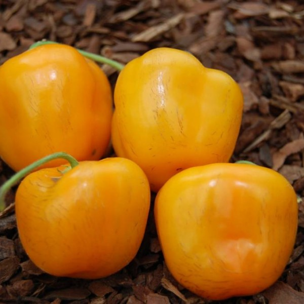 rocoto orange