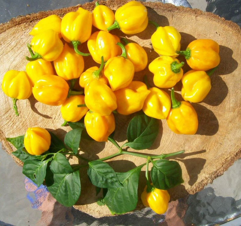 scotch bonnet yellow